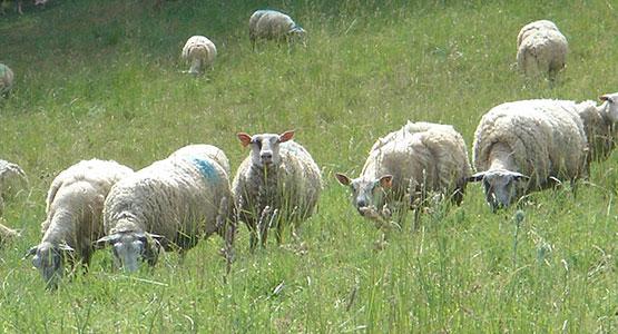 Tonello troupeau d'agneaux